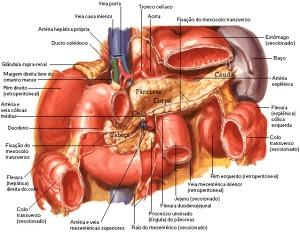 pancreas1